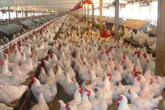 Украина заняла первое место попоставкам мяса птицы в EC