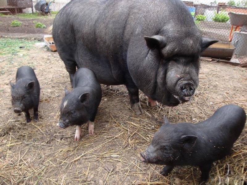 Под Николаевом свиньи съели пенсионера