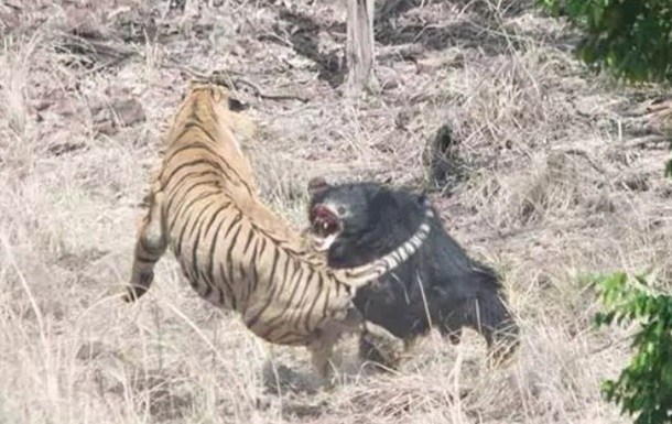 Медведь против тигра: Битва вдикой природе показала, кто сильней