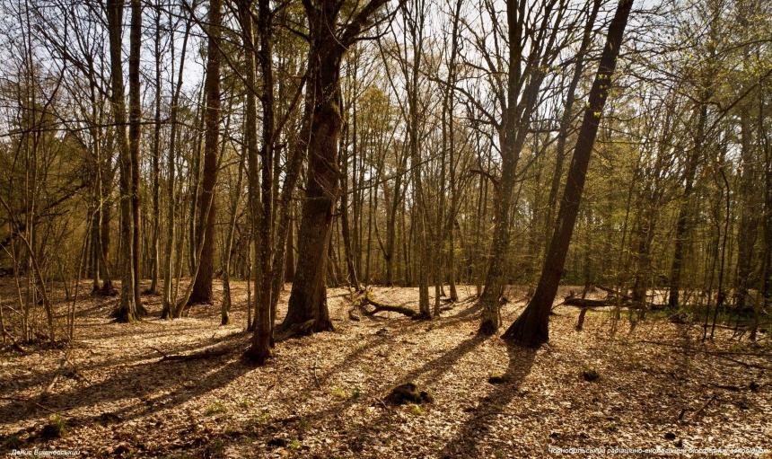 Как выглядит лес в зоне Чернобыльской АЭС