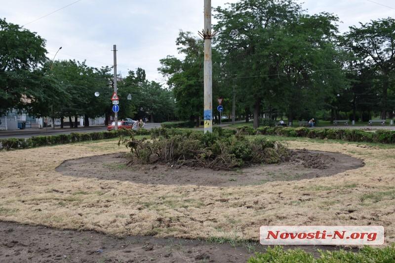 Вслед за газоном погибают кусты самшита, пересаженные с площади Соборной