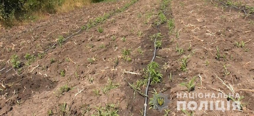 На Николаевщине полиция изъяла у трех селян 770 растений конопли