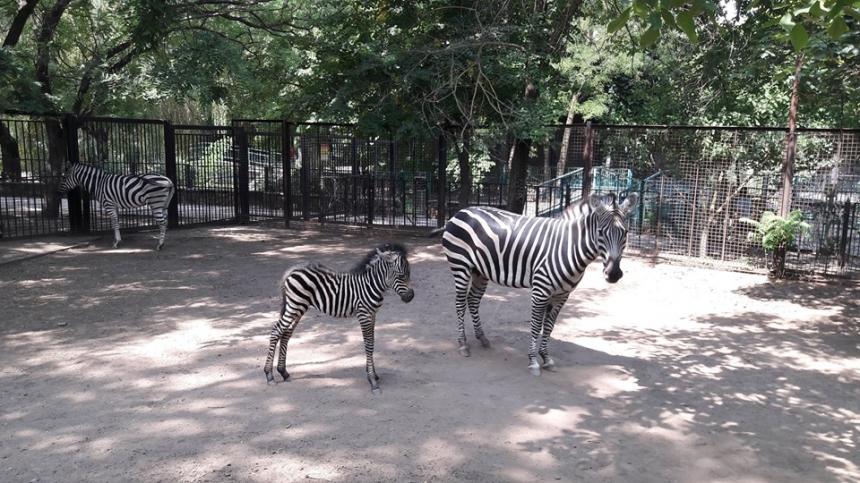 В Николаевском зоопарке у зебры родился малыш Пуча