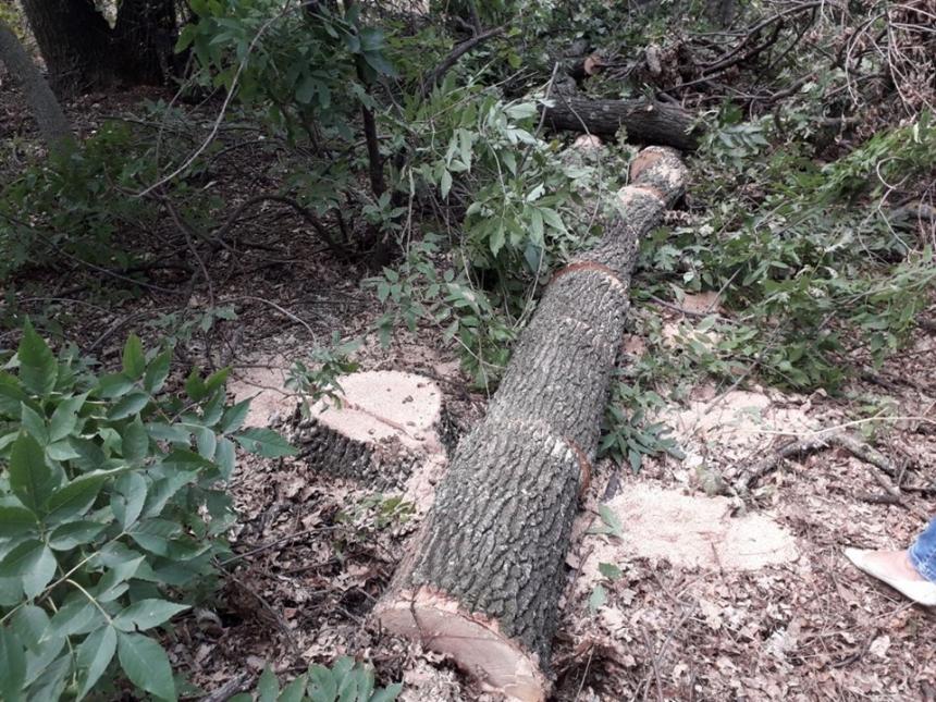 На Николаевщине по указке лесничего 4 человека спилили дубы на почти миллион гривен