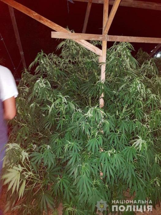 На Николаевщине ликвидировали «оранжерею» конопляных деревьев
