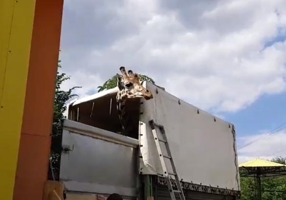 В Николаев приехал жираф: директор зоопарка встретил автомобиль на въезде в город. ОНЛАЙН