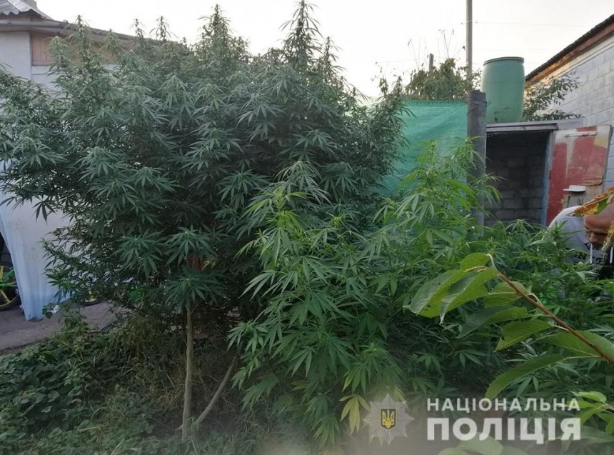 У жителя Николаевщины обнаружили целые «деревья» конопли