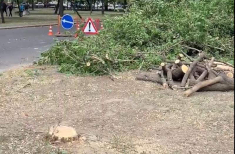 В центре Николаева застройщик спилил здоровые ясени — департамент ЖКХ одобрил