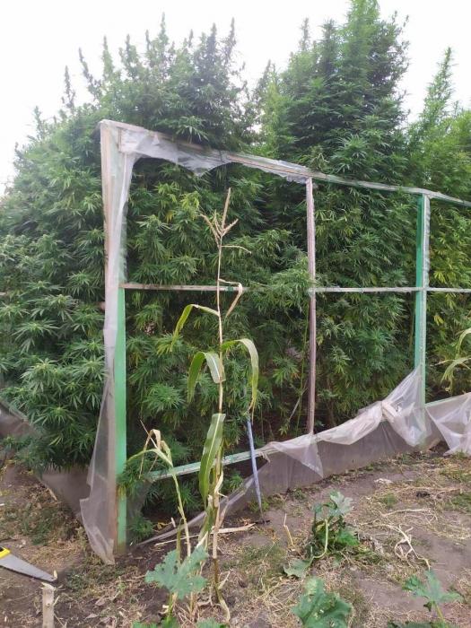 На Николаевщине будут судить мужчину, вырастившего 4-метровую коноплю