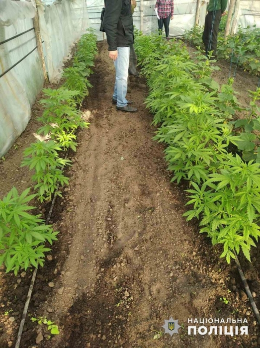 На Николаевщине мужчина в теплице между грядкок с овощами выращивал коноплю