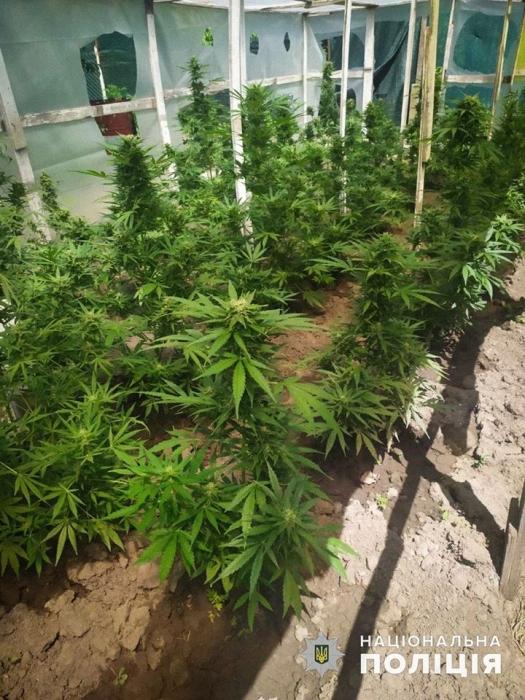 На Николаевщине наркоаграрий выращивал в парниках сортовую коноплю