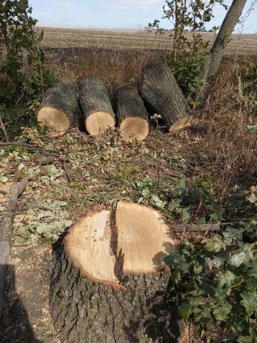 В Николаевской области незаконно спилили 46 дубов