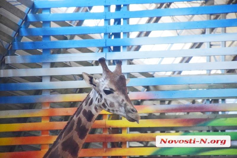 В Николаевском зоопарке показали, как и чем кормят жирафов