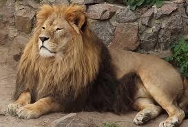 В Индии коронавирусом заразились львы
