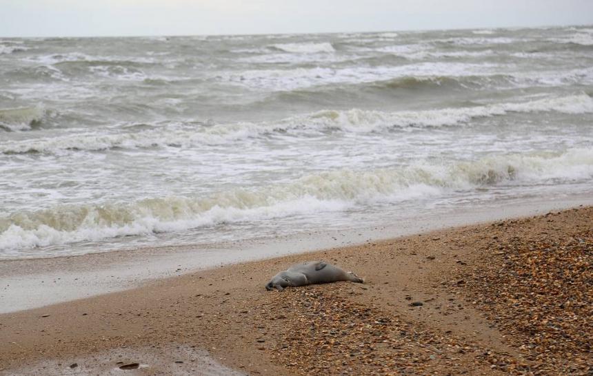 У Каспийского моря нашли 150 трупов краснокнижных нерп - с животных содрали шкуру