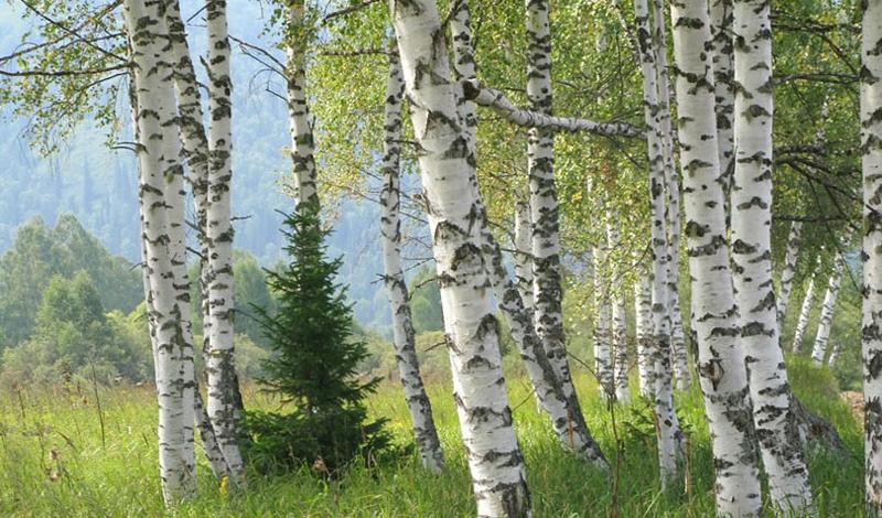 6 деревьев, которые помогут выжить в лесу