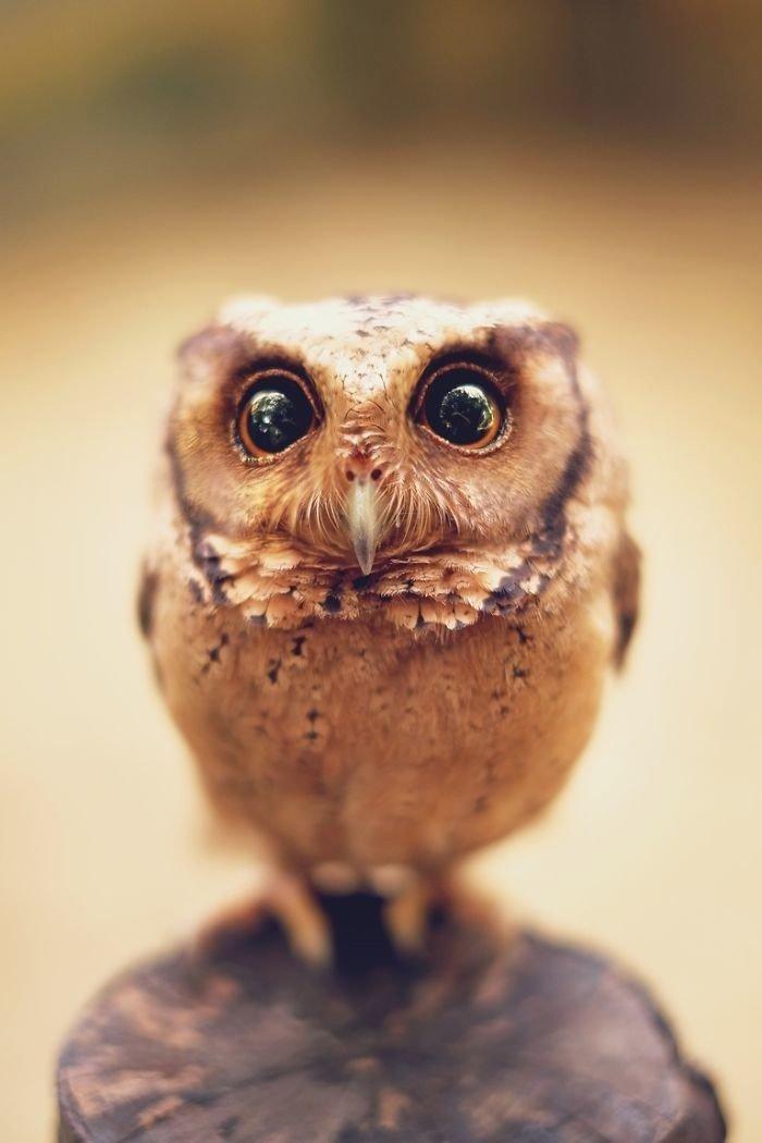 красивые совы картинки