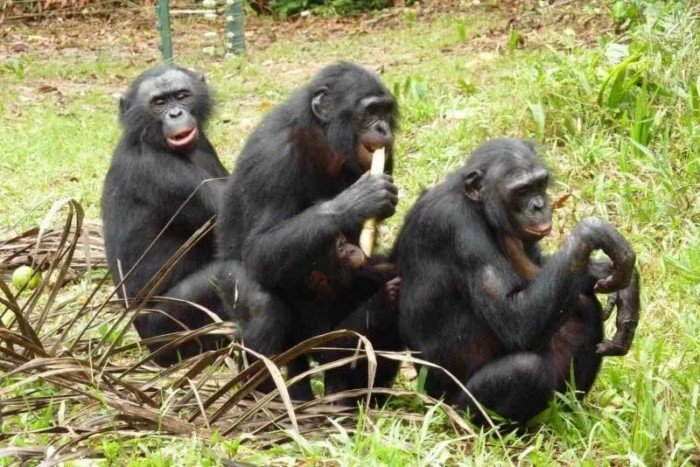 The Addicted Apes That Prove Homosexuality Is Natural