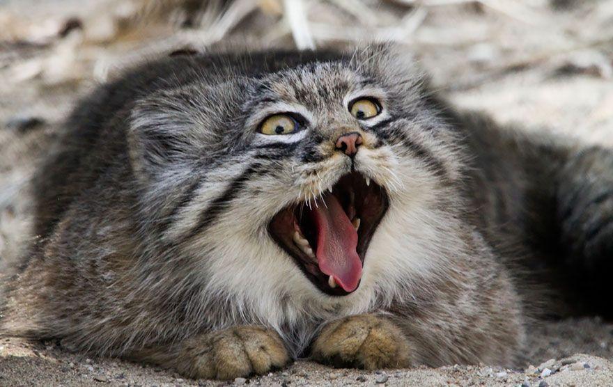 фото манула кота