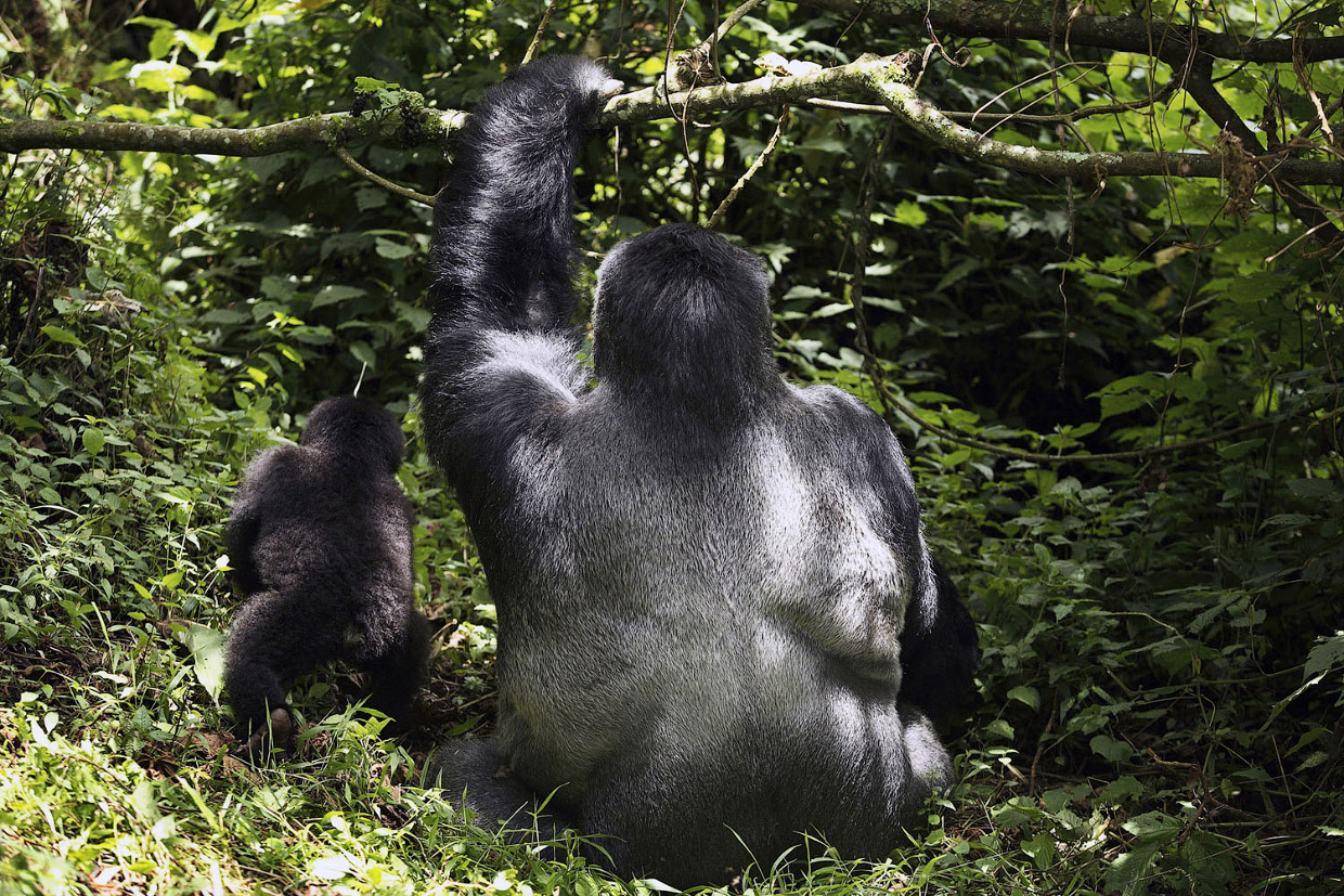 gorillas an endangered species Rwanda's parc des volcans is a haven to numerous mammal and bird species, the most notable being the endangered mountain gorillas in this dense tropical forest you can witness the spectacular virunga volcanoes while on a trekking vacation.
