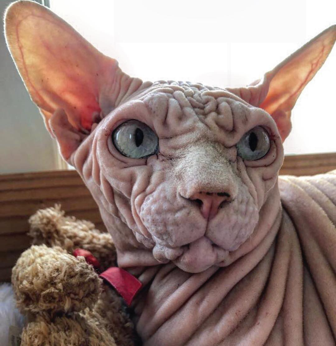 фото лысого кота вот недавно