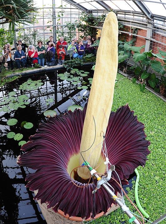 Самый большой в мире цветок фото