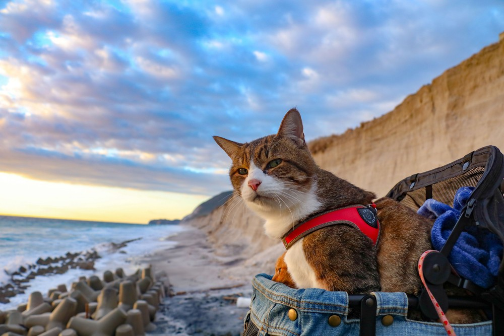 Two traveling cats from Japan