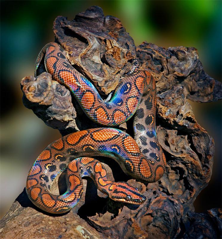 например, самые красивые змея в мире фото стеклянный