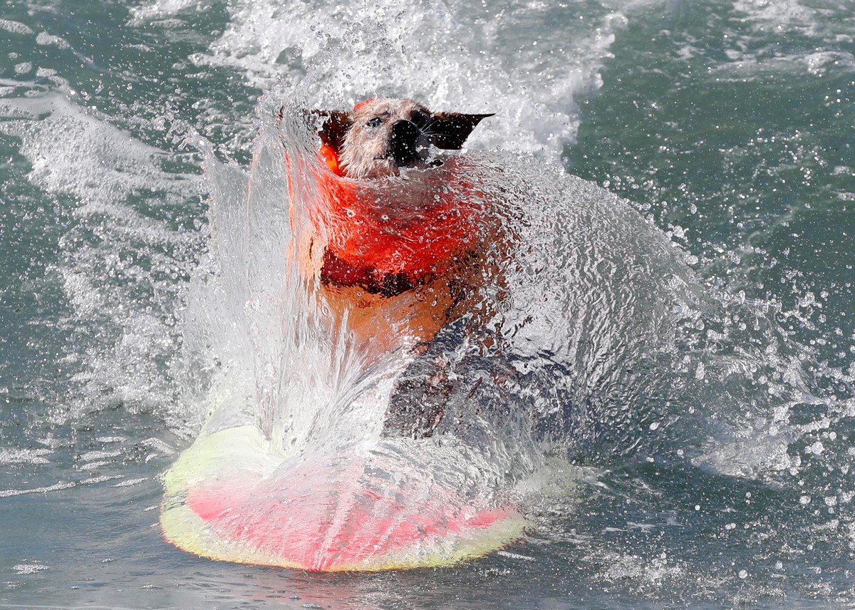 Соревнования по серфингу среди собак 2018
