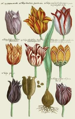 «Тюльпанная лихорадка» в интересных фактах. Фото