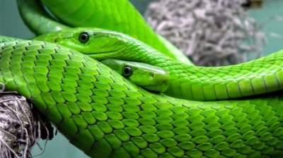 Президент Либерии остался без личного кабинета из-за змей
