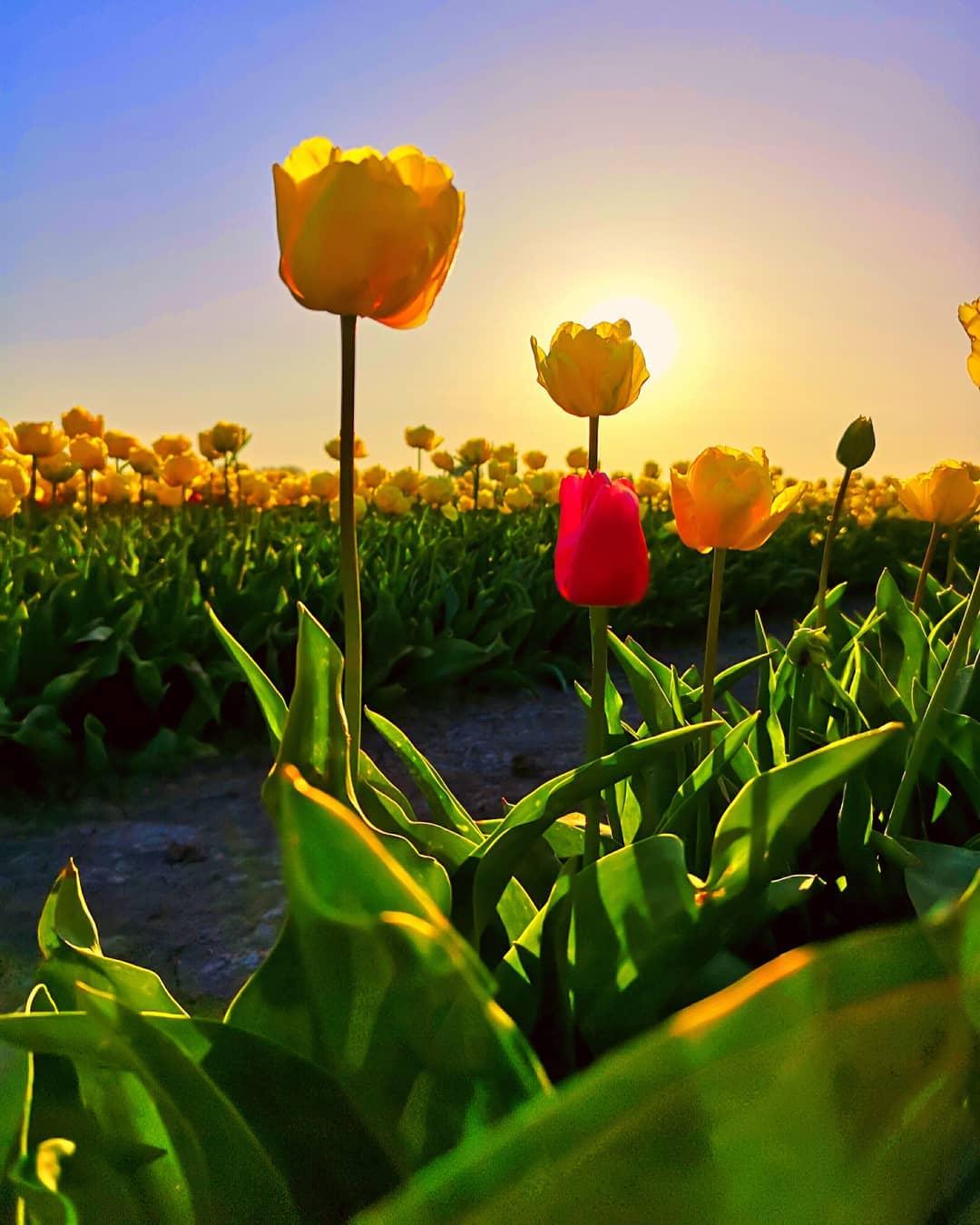 картинки тюльпанов красота