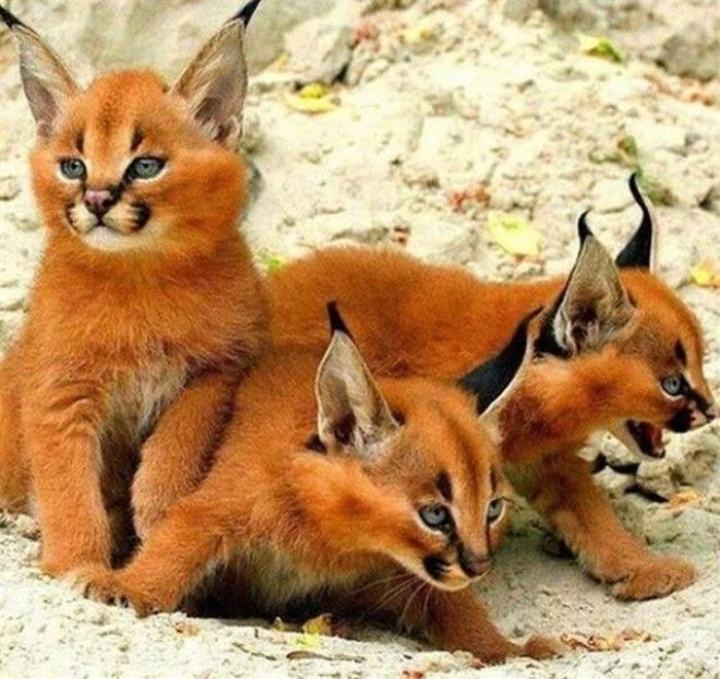 Котята каракала – одни из наиболее удивительных существе на свете. ФОТО