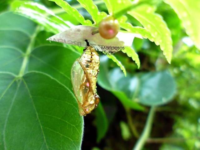 Золотые куколки южноамериканской бабочки