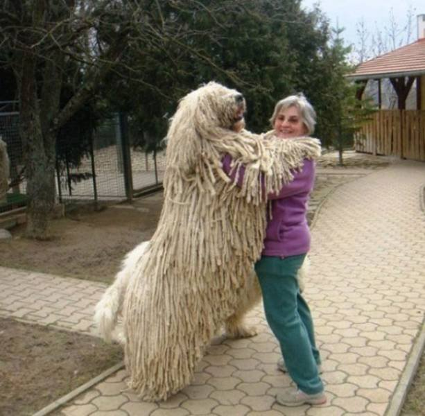 30 пёселей, которые не представляют себе, насколько они большие