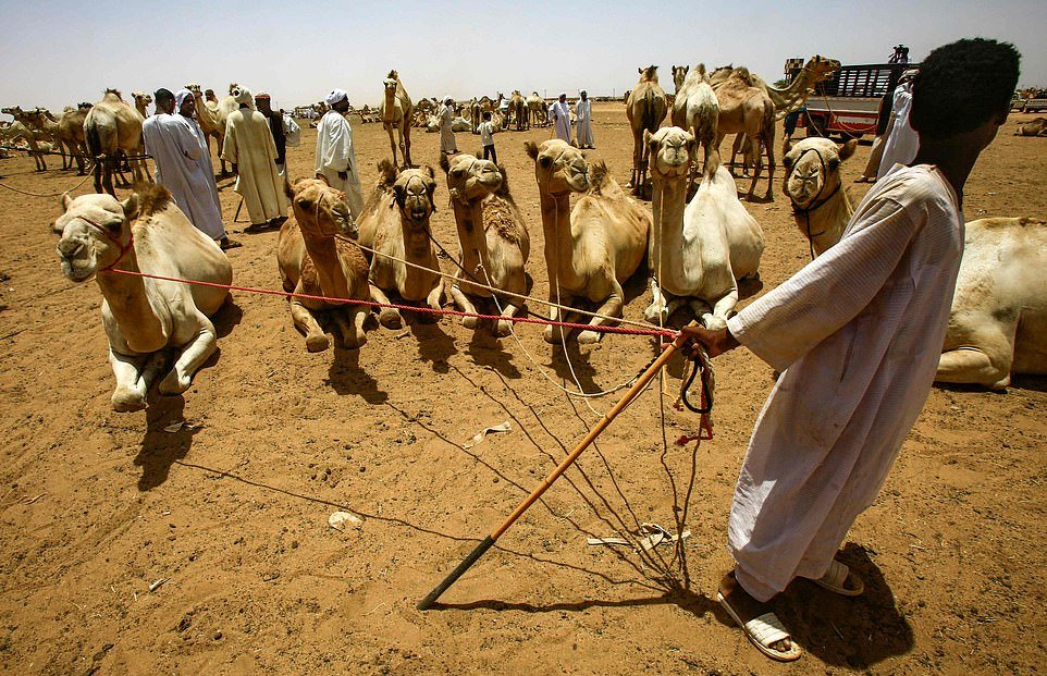 На ежегодном рынке верблюдов в Судане