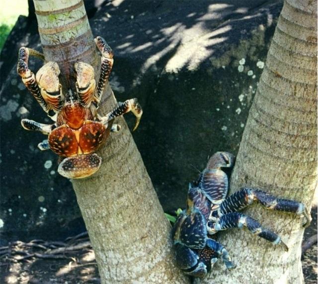 Кокосовый краб — огромный сухопутный рак-отшельник