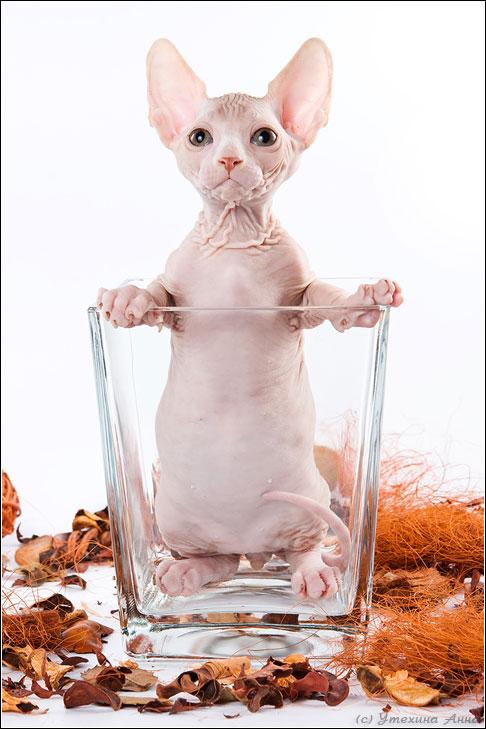 Открытка с днем рождения лысый кот