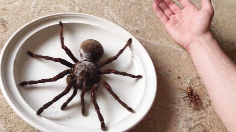Так выглядит самый большой паук на планете. Фото