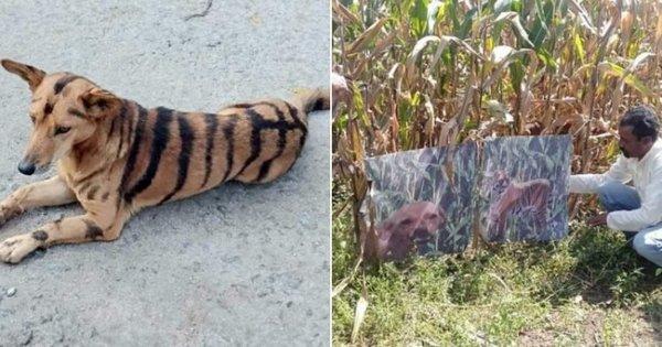 Фермер покрасил свою собаку «под тигра» – чтобы отпугивать обезьян. ФОТО