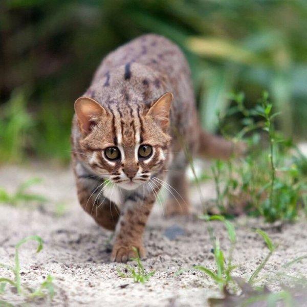 Ржавый кот - самый маленький дикий хищник в мире