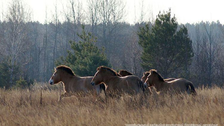 В Чернобыле крупные копытные животные позировали фотографу. ФОТО