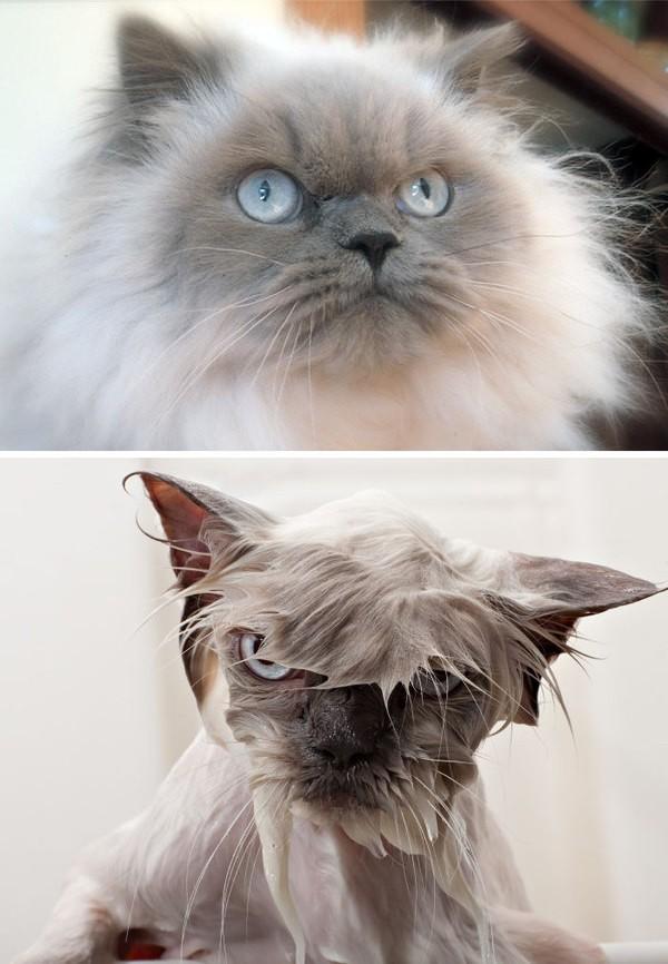 Помытые и оскорбленные: 8 забавных котов, принявших ванну