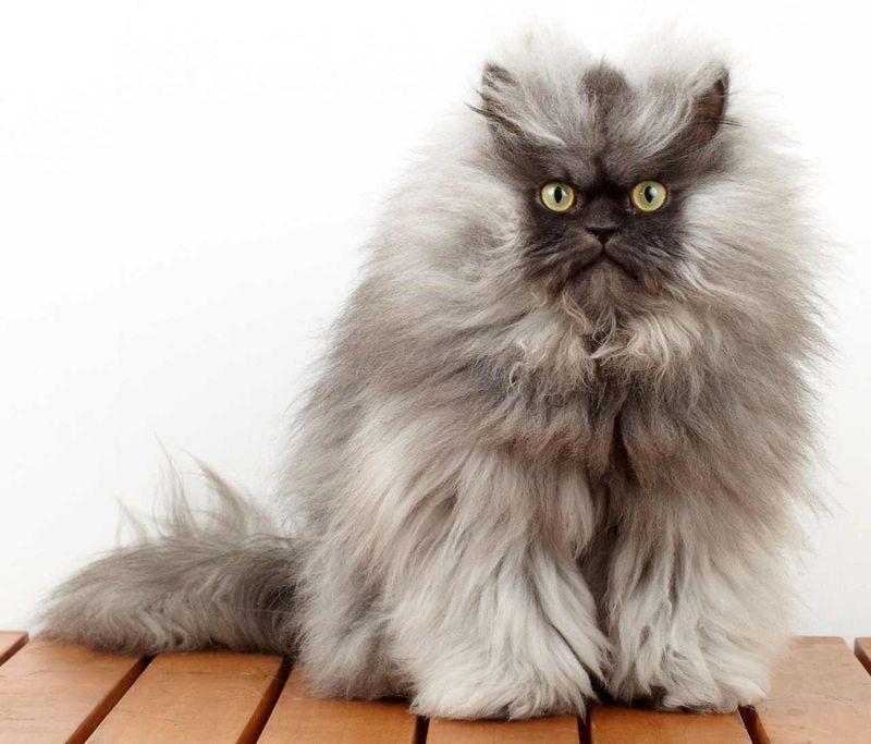 юности самые пушистые кошки в мире фото модные домашние