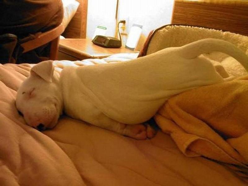 30 собак в самых невообразимых позах во сне. ФОТО