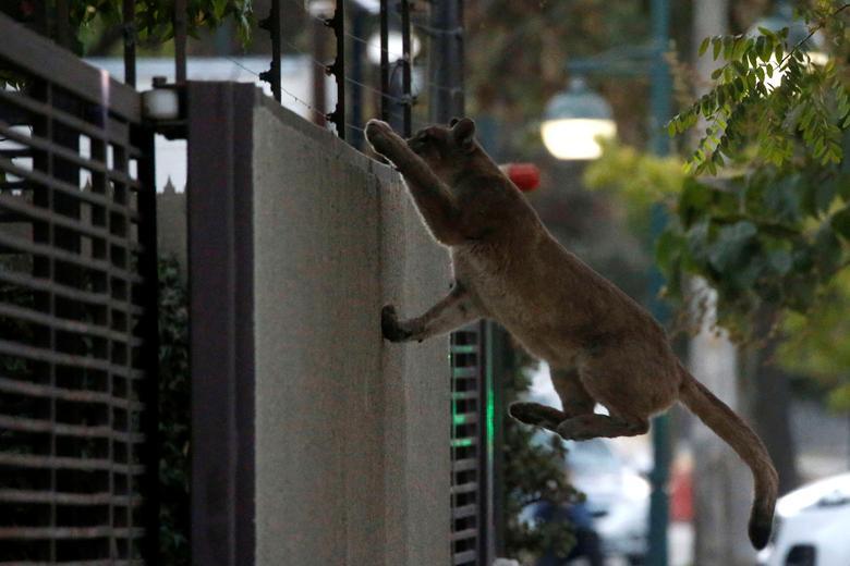 Животные вторгаются в города во время карантина