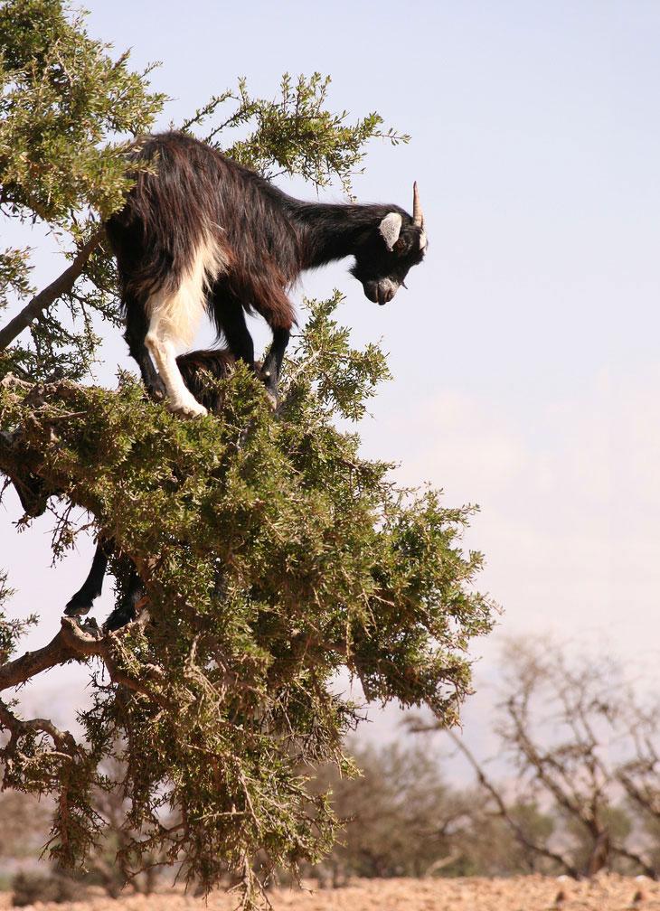 Козы из Марокко умеют лазать по деревьям