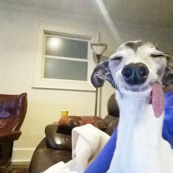 Забавная собака, у которой язык постоянно свисает