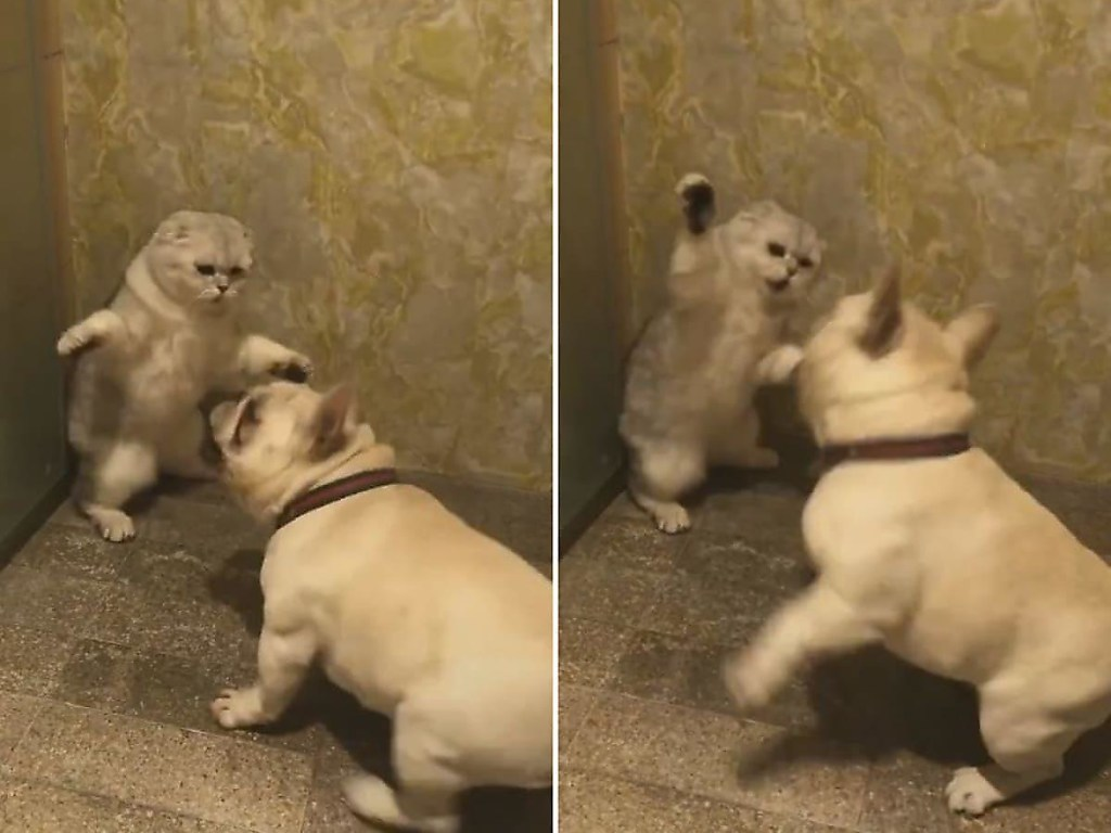 Забавные разборки между котом и псом. ВИДЕО