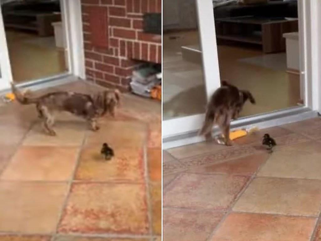 Маленький утенок загнал собаку в угол. ВИДЕО